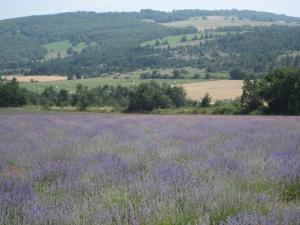 lavender4 copy